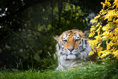 Siberian tiger hiding in the undergrowth. Young adult Siberian tiger, otherwise known as the Amur Tigers, hiding in the shade of the undergrowth. This big cat is royalty free stock image