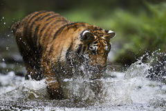 Siberian Tiger. Hunting in the river Royalty Free Stock Photography