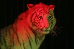 Siberian tiger i en cirkus under rött ljus Fotografering för Bildbyråer