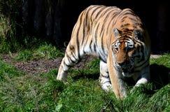 Siberian tiger i fångenskap Arkivbild