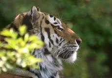 Siberian tiger i fläckig skugga royaltyfri bild