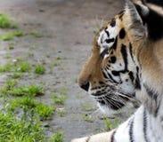 Siberian tiger i profil Royaltyfri Bild