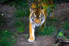 Siberian tiger i vildmarken på grön backgroung fotografering för bildbyråer