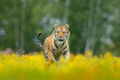 Free Siberian Tiger In Beautiful Habitat. Amur Tiger Sitting In The Grass. Flowered Meadow With Danger Animal. Wildlife Russia. Summer Stock Image - 107362861