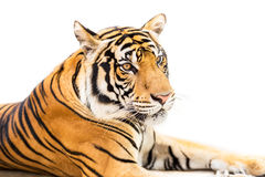 Siberian tiger isolated. Crouching young siberian tiger isolated on white background Stock Image