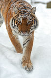Siberian tiger. In its natural habitat Stock Photography