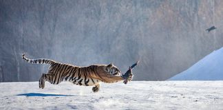 Siberian tiger in a jump catches its prey. Very dynamic shot. China Harbin. Mudanjiang province. Hengdaohezi park. Siberian Tiger Park. Winter. Hard frost royalty free stock photo