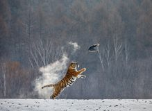 Siberian tiger in a jump catches its prey. Very dynamic shot. China Harbin. Mudanjiang province. Hengdaohezi park. Siberian Tiger Park. Winter. Hard frost royalty free stock image