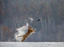 Siberian tiger in a jump catches its prey. Very dynamic shot. China Harbin. Mudanjiang province. Hengdaohezi park. royalty free stock image