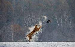 Siberian tiger in a jump catches its prey. Very dynamic shot. China Harbin. Mudanjiang province. Hengdaohezi park. Siberian Tiger Park. Winter. Hard frost stock photography