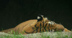 Siberian Tiger Jungle. Close up of a tiger resting on the grass stock video footage