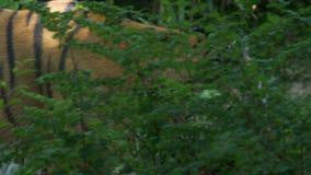 Siberian Tiger Jungle. A tiger walking in the jungle stock video