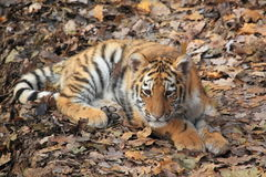 Siberian tiger juvenile Stock Photo