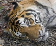 Siberian tiger 9 Royalty Free Stock Photos