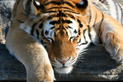 Siberian Tiger Laying Down. Siberian Tiger lounging in the sun on a beautiful day Stock Photos