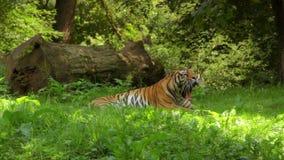 Tiger. Siberian tiger yawing stock video