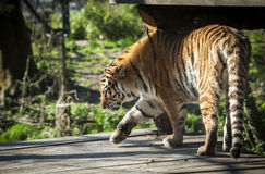 Siberian tiger Royalty Free Stock Photos