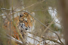Siberian tiger looking through bush in winter time Royalty Free Stock Image