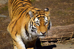 Siberian tiger. Looking mysterious forward Stock Images