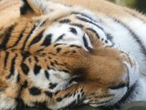 Siberian Tiger looking out at the world stock image