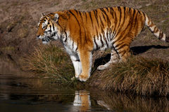 Siberian Tiger looking over the water Stock Photos