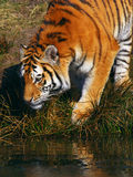 Siberian Tiger looking in the water Royalty Free Stock Photography
