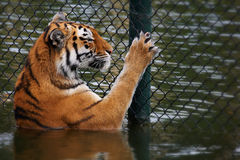 Siberian Tiger looks through a fence Stock Photo