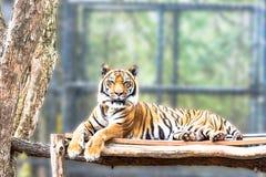 Siberian Tiger lying down Royalty Free Stock Photos