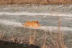Siberian tiger lying down on ice eating. Siberian tiger lying down on ice road eating something during the daytime Royalty Free Stock Photos