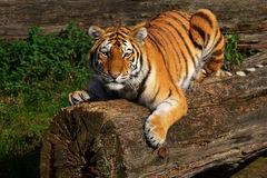 Siberian tiger lying on a fallen tree Royalty Free Stock Images