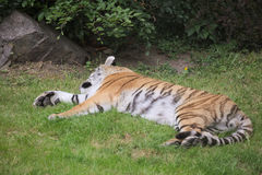 Siberian Tiger Lying In The Grass Stock Photography