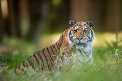 Siberian tiger lying in the grass in summer forest. Beast of preoccupation with the surroundings stock photo
