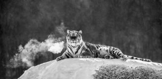Siberian tiger lying on a snow-covered hill. Portrait against the winter forest. Black and white. China. stock photography