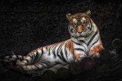 Siberian tiger. Lying on a wooden bridge Royalty Free Stock Images