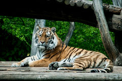 Siberian tiger. Lying on a wooden deck Royalty Free Stock Photography