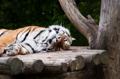 Siberian tiger. Lying on a wooden deck Stock Image
