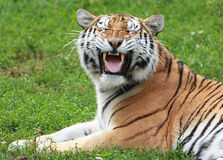 Siberian Tiger making funny face. Siberian male tiger catches a scent in the air Stock Photography