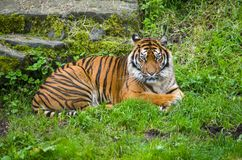 Siberian tiger male resting. On grass in the morning Royalty Free Stock Photography