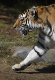 Siberian tiger marches Royalty Free Stock Photography