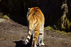 Siberian tiger. Migrates homeward in the sun Stock Photography