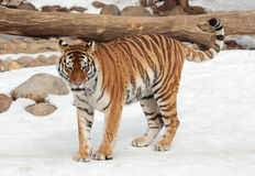 Siberian tiger in moscow zoo stock photo