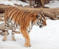 Siberian tiger in moscow zoo. Siberian tiger on winter in moscow zoo Stock Image