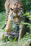 Siberian tiger moving towards the camera Royalty Free Stock Photo