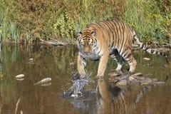 Siberian tiger near mountain stream Royalty Free Stock Photos