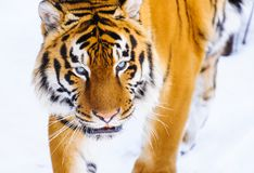 Free Siberian Tiger On The Snow Royalty Free Stock Photography - 157069997