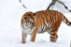 Siberian tiger onsnow Stock Photography