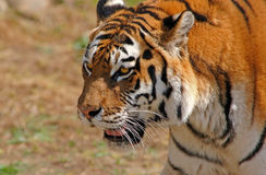 Siberian tiger - (Panthera tigris) Stock Photos