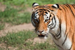 Siberian tiger - (Panthera tigris). Morning, a tiger as the master bypasses the terrain, notifying vicinities the terrible roar Royalty Free Stock Photography