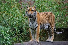 Siberian tiger (Panthera tigris altaica). The Siberian tiger (Panthera tigris altaica), also known as the Amur tiger, is a subspecies of tiger which once ranged Stock Photography