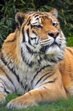 The Siberian tiger (Panthera tigris altaica) Royalty Free Stock Images